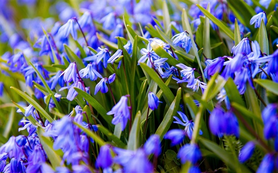 Wallpaper Blue flowers flowering, spring