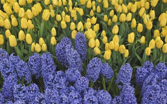 Papéis de Parede Jacintos azuis e tulipas amarelas