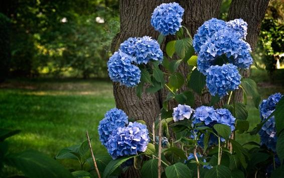 Wallpaper Blue hydrangea flowering, tree