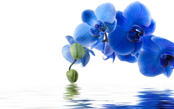 Wallpaper Blue phalaenopsis, water, white background