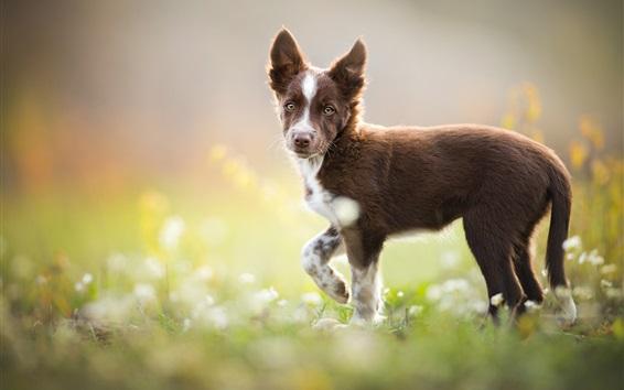 Обои Пограничный колли, коричневая собака оглядывается назад