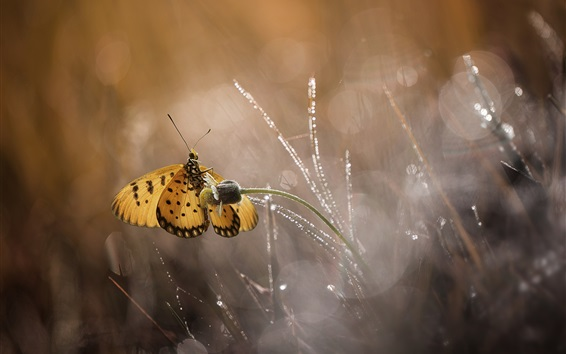 Wallpaper Butterfly, grass, water drops