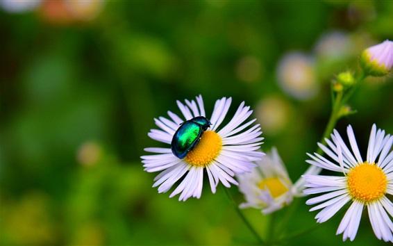 Fond d'écran Camomille, coléoptère, insecte