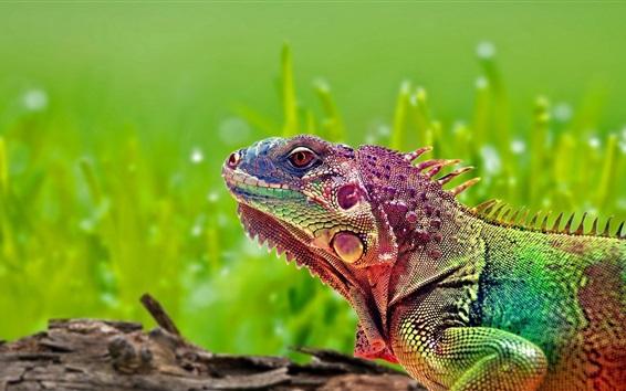Papéis de Parede Camaleão colorido, réptil, fundo verde
