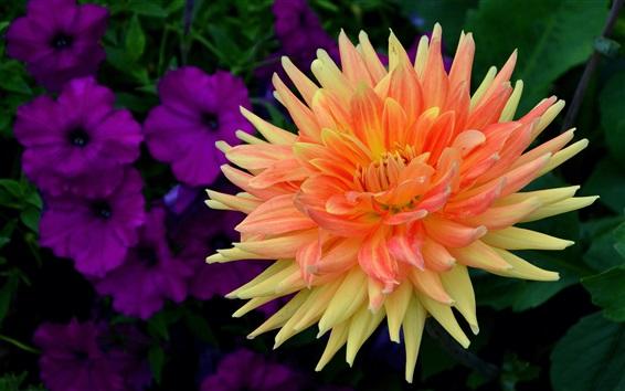 Wallpaper Dahlia, orange petals