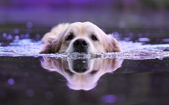 壁纸 狗在水中游泳,头