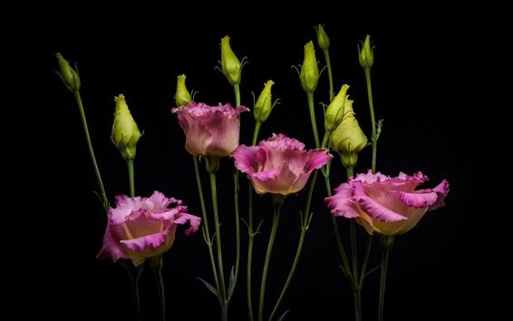 배경 화면 Eustoma, 꽃다발, 핑크 꽃, 검은 배경