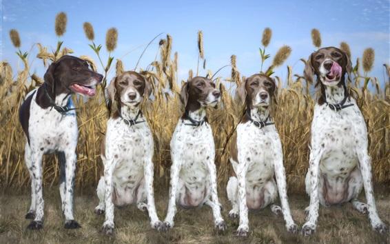 Papéis de Parede Cinco, cachorros, campo trigo