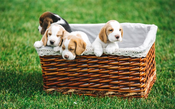 배경 화면 바구니에 4 마리의 강아지, 잔디