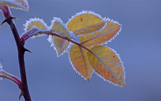 Wallpaper Frost, yellow leaves, cold