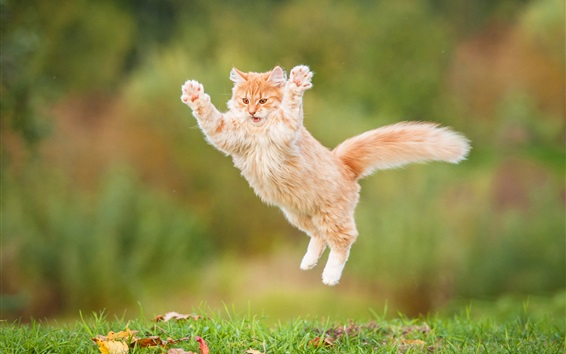 Wallpaper Furry kitten jumping