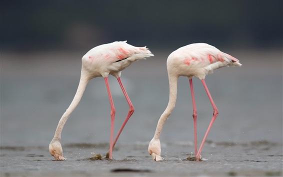 Fond d'écran Flamant rose, deux oiseaux, eau