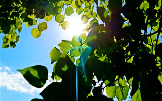 Wallpaper Green leaves, tree, blue sky, sun rays