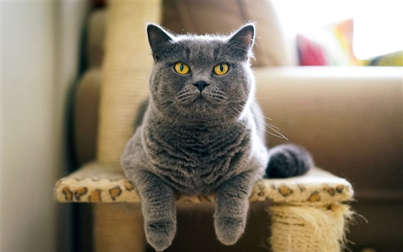 Wallpaper Grey British cat front view, face, chair