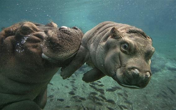 Papéis de Parede Hipopótamos nadam debaixo d'água