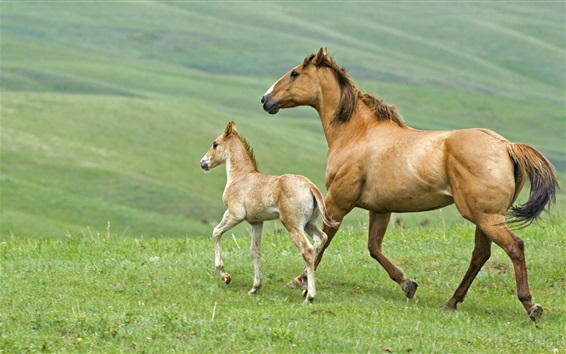 Wallpaper Horse, family, mother and cub