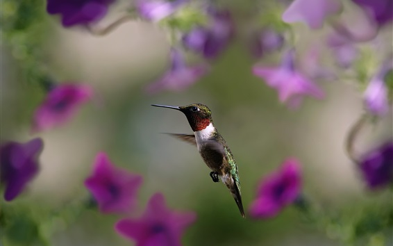 Wallpaper Hummingbird, purple flowers background
