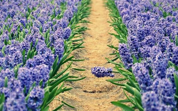 Wallpaper Hyacinths, blue flowers field