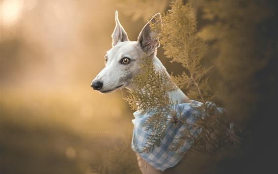 Wallpaper Italian Greyhound, dog, portrait