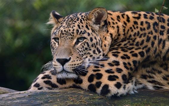 Papéis de Parede Leopardo, animais selvagens, pata