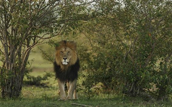 배경 화면 사자 전면, 포식자, 나무