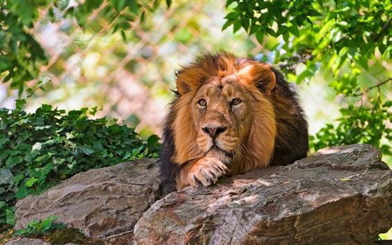 배경 화면 사자 휴식, 바위, 나뭇잎, 동물원