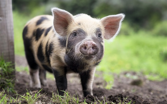 Papéis de Parede Olhar de porco, vista frontal, nariz