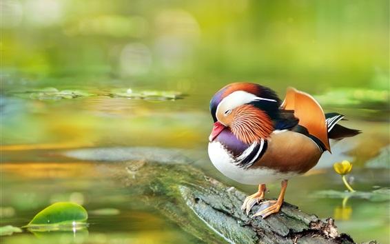 Papéis de Parede Pato mandarim, descanso, água