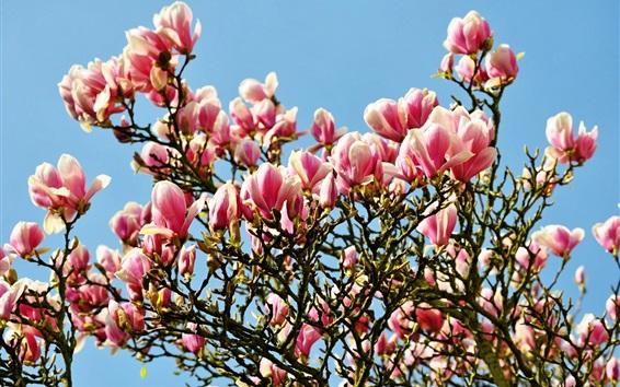 Wallpaper Many magnolia flowers bloom, spring