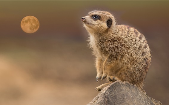 Wallpaper Meerkat, look at moon, stump