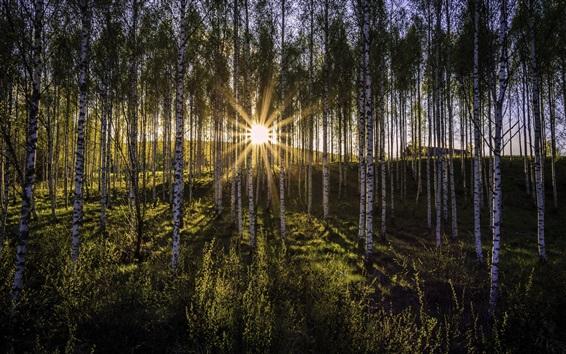 Wallpaper Morning, birch forest, sun rays, glare