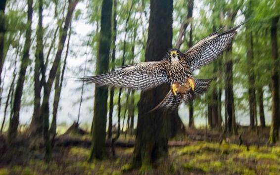Обои Новозеландский сокол, полет, крылья, боке