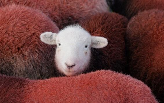 Papéis de Parede Uma ovelha branca