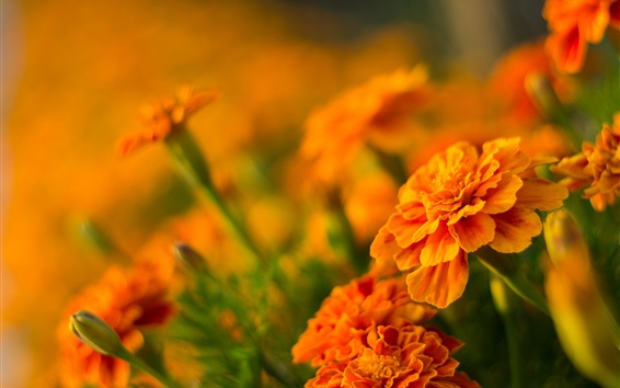 Wallpaper Orange flowers, marigolds