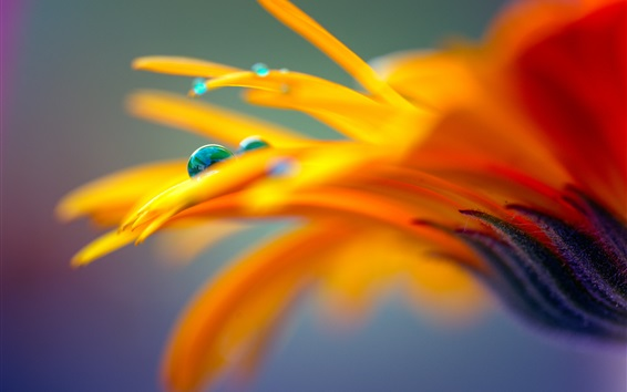 Wallpaper Orange petals flower macro photography, water drops