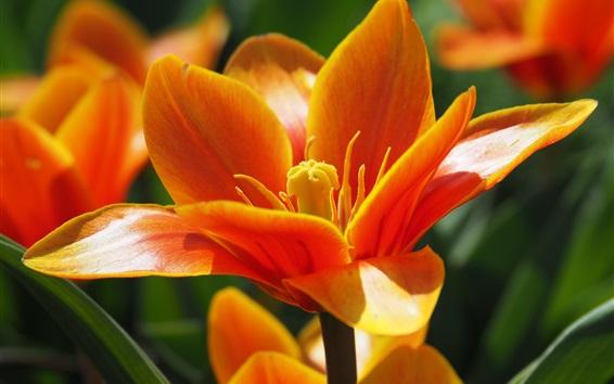 Wallpaper Orange tulip macro photography, petals