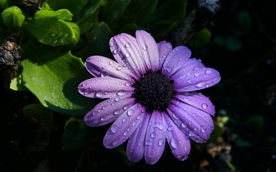 Wallpaper Osteospermum, purple petals, water drops