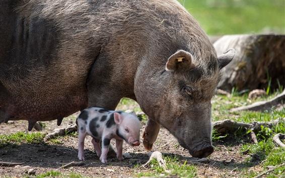 Papéis de Parede Porco mãe e porquinho