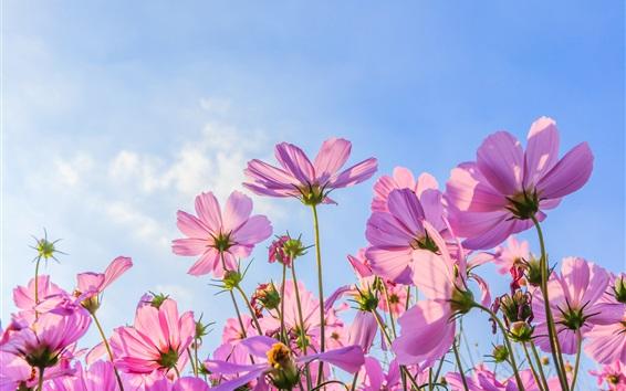 배경 화면 핑크 코스모스 꽃, 여름, 푸른 하늘