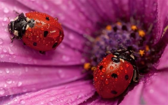 Papéis de Parede Pétalas de flor-de-rosa, duas joaninhas vermelhas, gotas de água