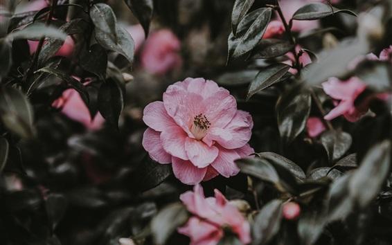 Wallpaper Pink flowers, wildflowers