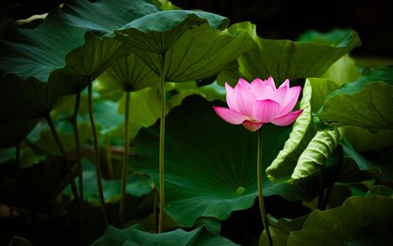 Wallpaper Pink lotus, flower, green leaves