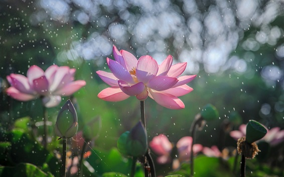 Wallpaper Pink lotus flowering, rain, summer