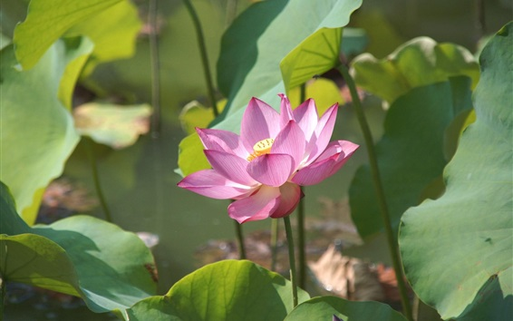 Wallpaper Pink lotus, sunshine