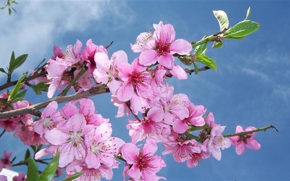 Wallpaper Pink peach flowers bloom, spring, blue sky