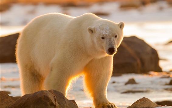 Hintergrundbilder Eisbär-Look, Schnee, Sonnenschein