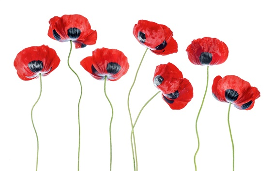 Wallpaper Poppy flowers, red and black petals, white background