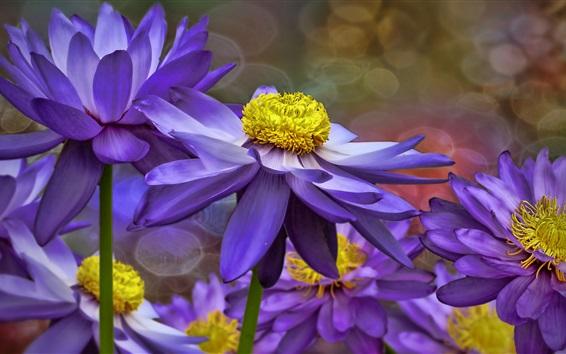 Wallpaper Purple water lilies, flowers, petals