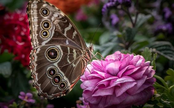 壁紙 ラナンキュラス、ピンクの花、蝶、羽