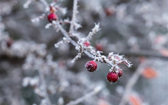 Wallpaper Red berries, twigs, frost, winter